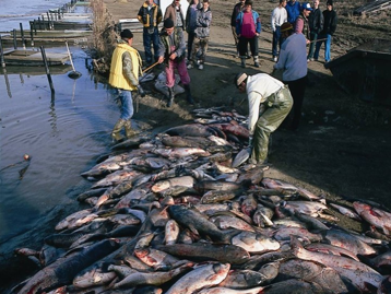 bristol_bay_dead_fish