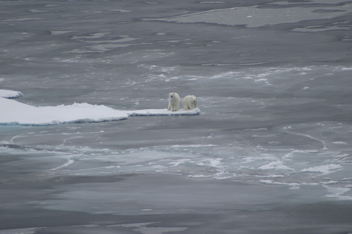 polar-bears-arctic-ice